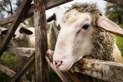 Sheep in Fence Royalty Free Stock Photo