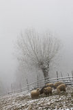 Sheep, fence and tree landscape during winter Royalty Free Stock Photo