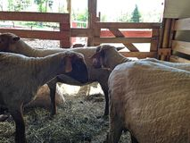 Sheep fenced in at a barn at a farm Stock Image