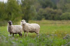Sheep in the fiel grazing the green grass Royalty Free Stock Photos