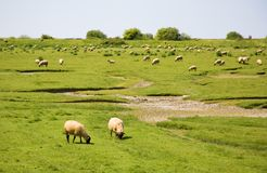 Sheep on a field. And blue sky Stock Photography