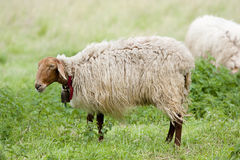 Sheep in the field Royalty Free Stock Images