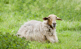 Sheep in the field. Image of a sheep in a natural landscape taken in Spain Stock Photos