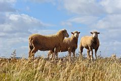 Sheep in the field. Australian sheep in the pasture stock photos