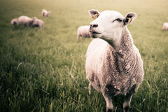 Sheep on field. Sheep on green field with flock in background Royalty Free Stock Images