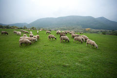 Sheep in the Field. Flock of sheep pasturing on a mountain field Stock Photos