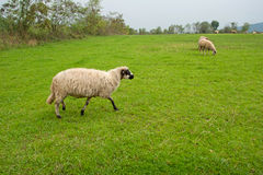 Sheep in the Field Stock Photography