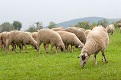 Sheep in the Field. Walking sheep on a green field in the mountain Stock Photo