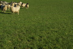 Sheep in a field. A flock of sheep bunched together in a feild royalty free stock images