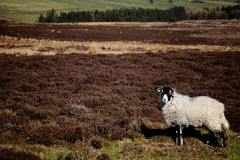 Sheep in a Field. A White Ram in a English Countryside Field Royalty Free Stock Photo