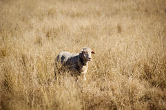 Sheep in Field Royalty Free Stock Photos
