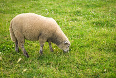 Sheep in a field. A sheep is eating grass in a field Stock Photography