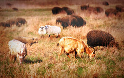 Sheep on field. Sheep grazing on the field Stock Images