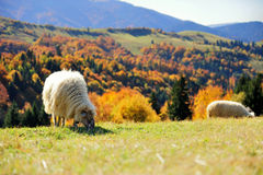 Sheep on a field. Sheep on a autumn field Stock Photography