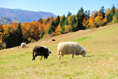 Sheep on a field. Sheep on a autumn field Stock Photos