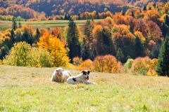 Sheep on a field royalty free stock image