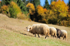 Sheep on a field stock photography