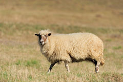Sheep on a field royalty free stock photography