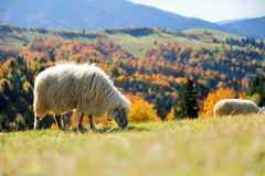 Sheep on a field. Sheep on a autumn field Stock Photo