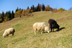 Sheep on a field stock images