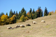 Sheep on a field Royalty Free Stock Images