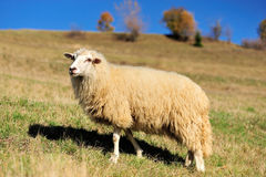 Sheep on a field Royalty Free Stock Photo