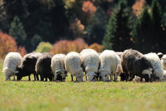 Sheep on a field royalty free stock photos