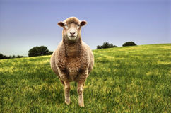 Sheep in a field. A medium high-contrast image of a sheep standing in a grassy field Royalty Free Stock Image