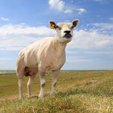 Sheep in a field. Single sheep in field, against blue sky Stock Photo