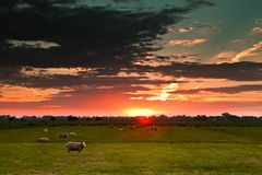 Sheep on field against sun Stock Photo