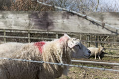 Sheep behind fence Royalty Free Stock Photos