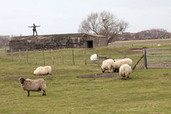 Sheep in a field, Belgium Royalty Free Stock Photography