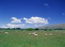Sheep in Field, blue Sky Royalty Free Stock Photos