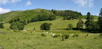Sheep in field on bright sunny day, panoramic. Sheep at the eastern end of Grisedale valley, Lake District royalty free stock images