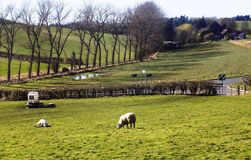 Sheep in field, Crookham, Northumberland, England. UK Royalty Free Stock Images