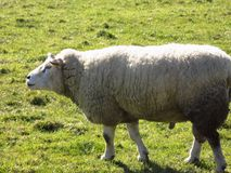 Sheep in field, Crookham, Northumberland, England. UK Royalty Free Stock Image