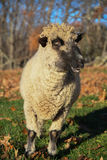 A sheep in a field in the early morning Stock Photo