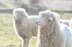 Sheep in a field in the early morning Royalty Free Stock Photos