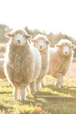 Sheep in a field in the early morning Royalty Free Stock Images