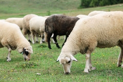 Sheep in the Field Royalty Free Stock Photos
