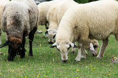 Sheep in the Field Royalty Free Stock Photography