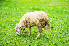 Sheep on field. A sheep eating grass on field Stock Photos