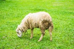 Sheep on field Stock Photos