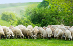 Sheep on a field eating grass Stock Photos