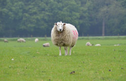 A sheep in the field. Ewe lamb, sheep in the field stock images
