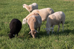Sheep in a field. Ewes and lambs in a grassy field Royalty Free Stock Photo