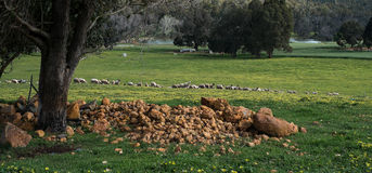 Sheep In Field. Farm with roaming sheep grazing in green pasture stock photo