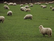 Sheep In A Field Royalty Free Stock Photos