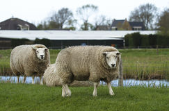 Sheep. On a field of grass Stock Images