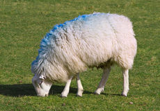 Sheep in a field. Stock Photo